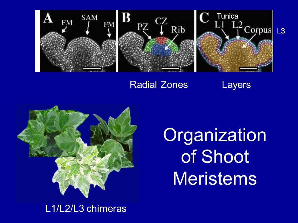 Organization of Shoot Meristems