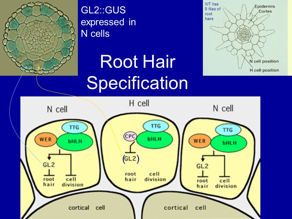 Root Hair Specification