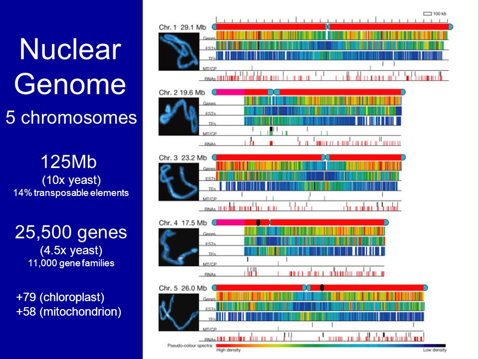 14% transposable elements 25,500 genes