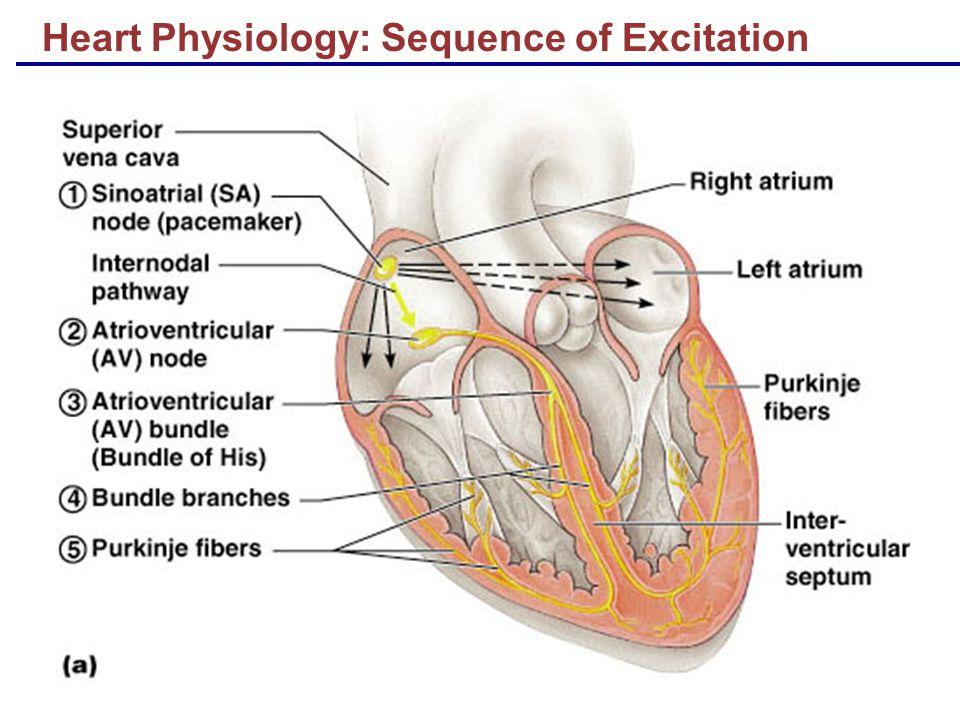 Anatomy Of Cardiac Muscle Image collections - human body anatomy