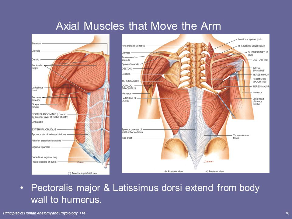 The Muscular System How Skeletal Muscles Produce Movement Ppt