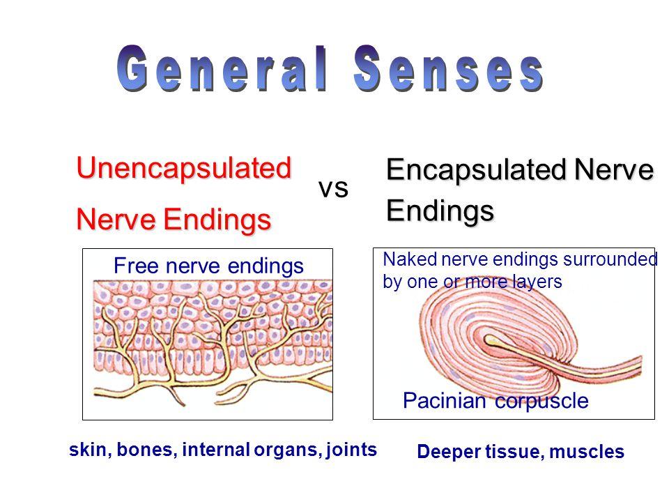 General Senses Unencapsulated Encapsulated Nerve Nerve Endings vs
