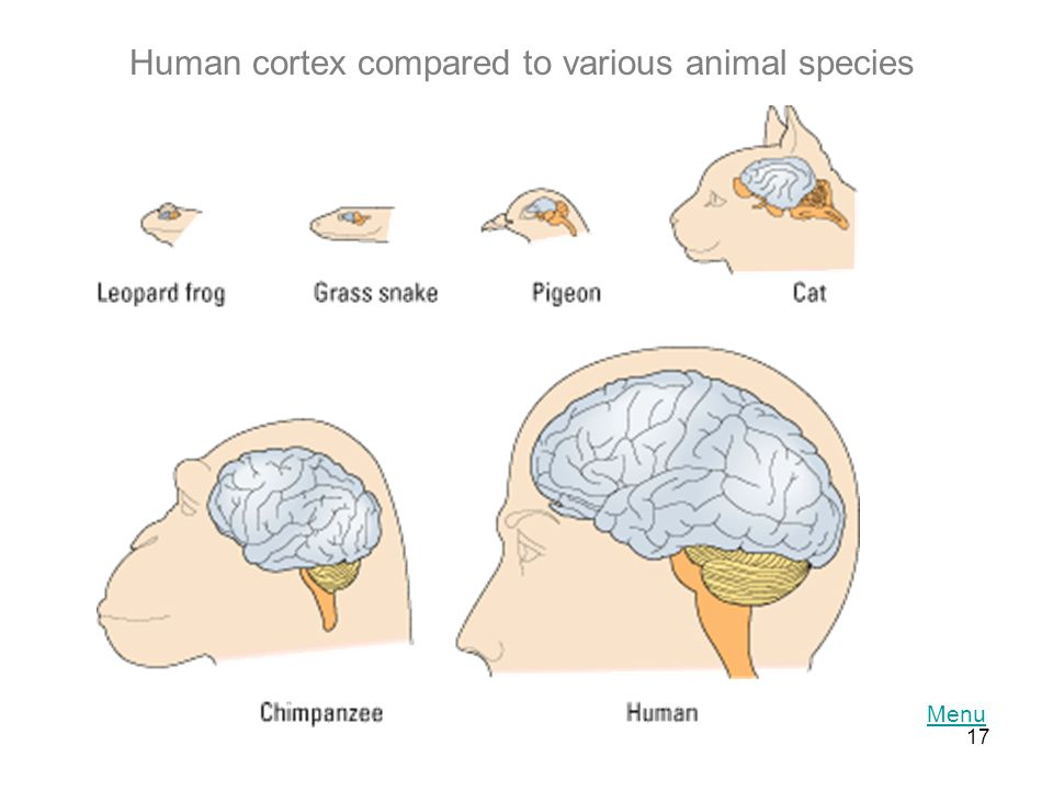 Human cortex compared to various animal species