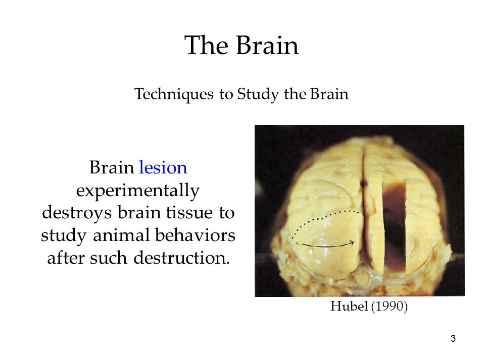 The Brain Techniques to Study the Brain. Brain lesion experimentally destroys brain tissue to study animal behaviors after such destruction.