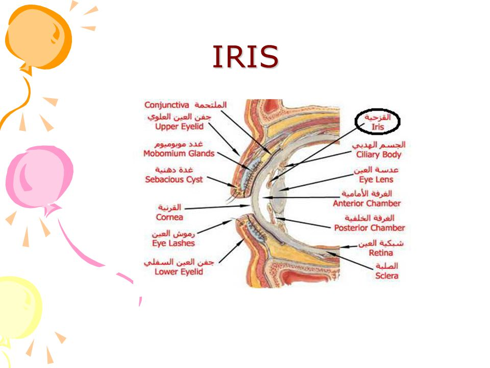 Unique Anatomy Of Iris Ideas - Anatomy And Physiology Biology Images ...