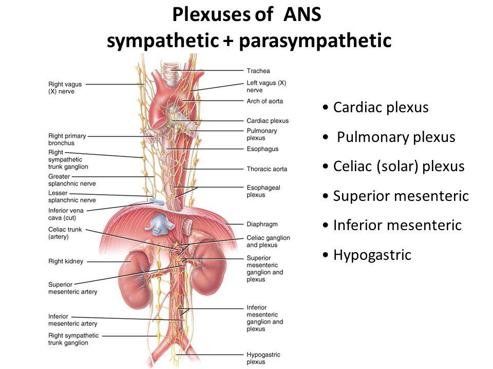 Autonomic Nervous System - ppt video online download