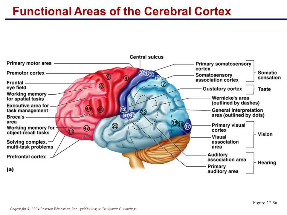 The Central Nervous System Part A - ppt video online download