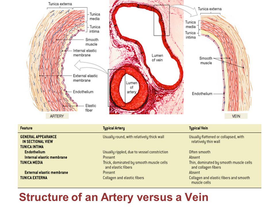 The Cardiovascular System: Blood Vessels - ppt video online download