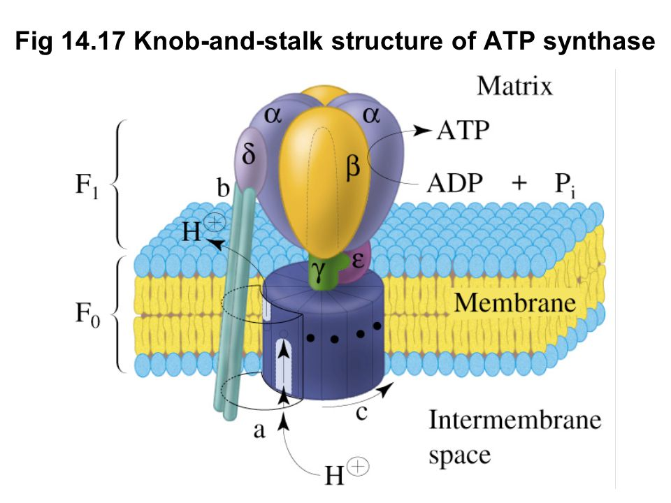 Fig Knob-and-stalk structure of ATP synthase