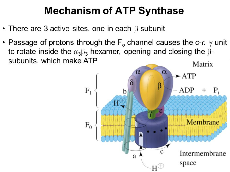 Mechanism of ATP Synthase