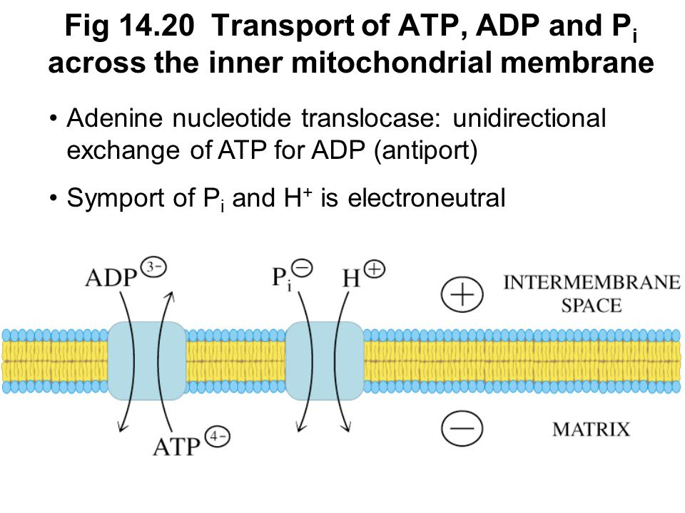 Fig Transport of ATP, ADP and Pi across the inner mitochondrial membrane