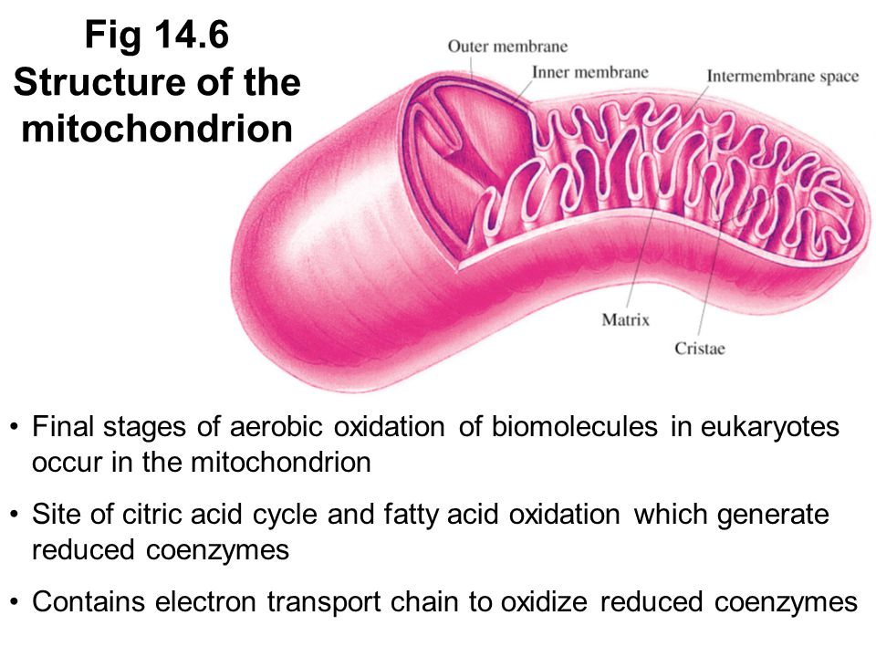 Fig 14.6 Structure of the mitochondrion