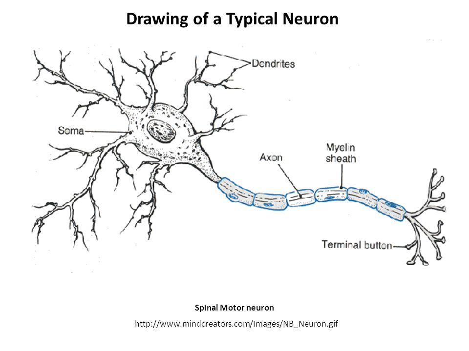 drawing of a typical neuron