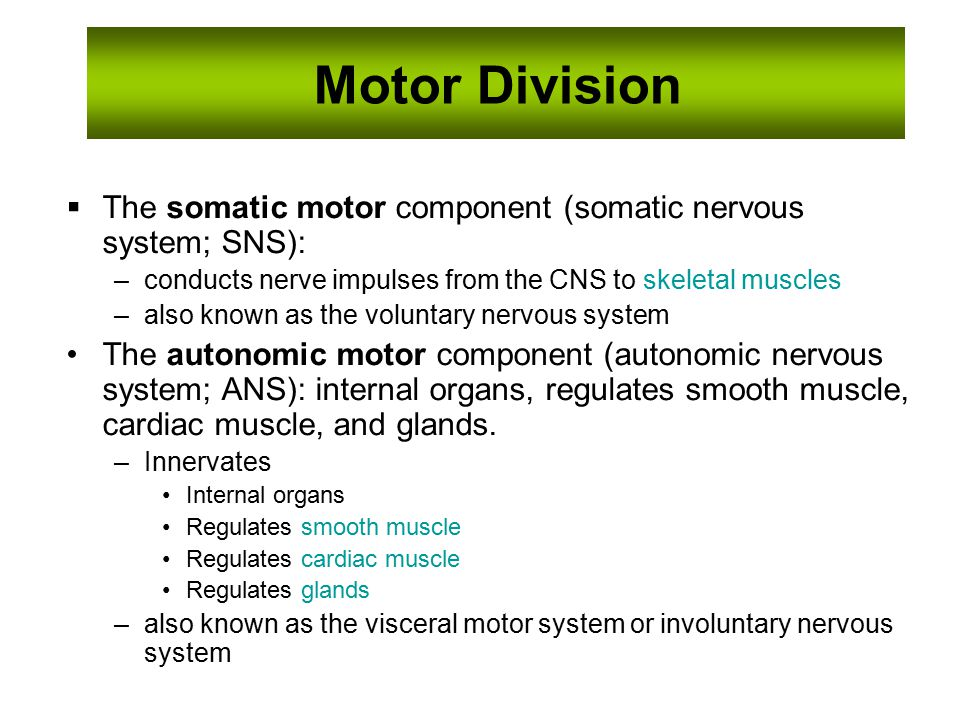 13 Motor Division The somatic motor component (somatic nervous system; SNS): conducts nerve impulses from ...