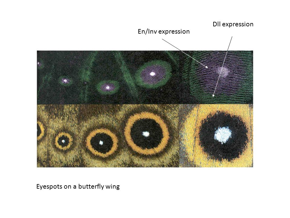 Dll expression En/Inv expression Eyespots on a butterfly wing