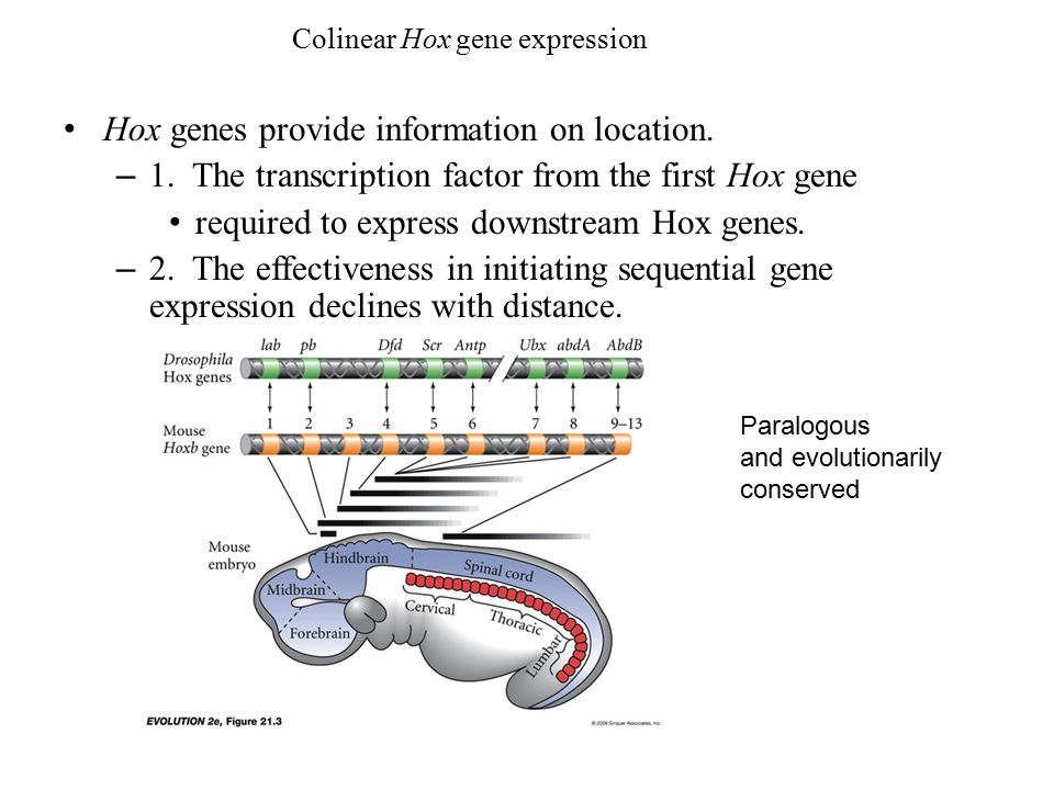 Hox genes provide information on location.