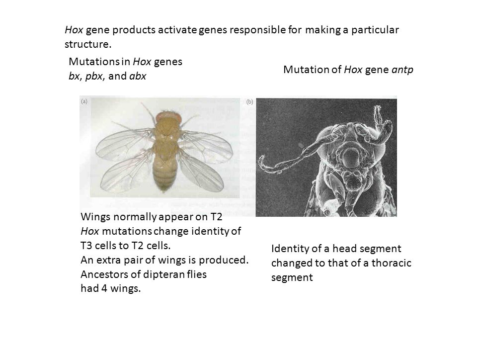 Hox gene products activate genes responsible for making a particular structure.