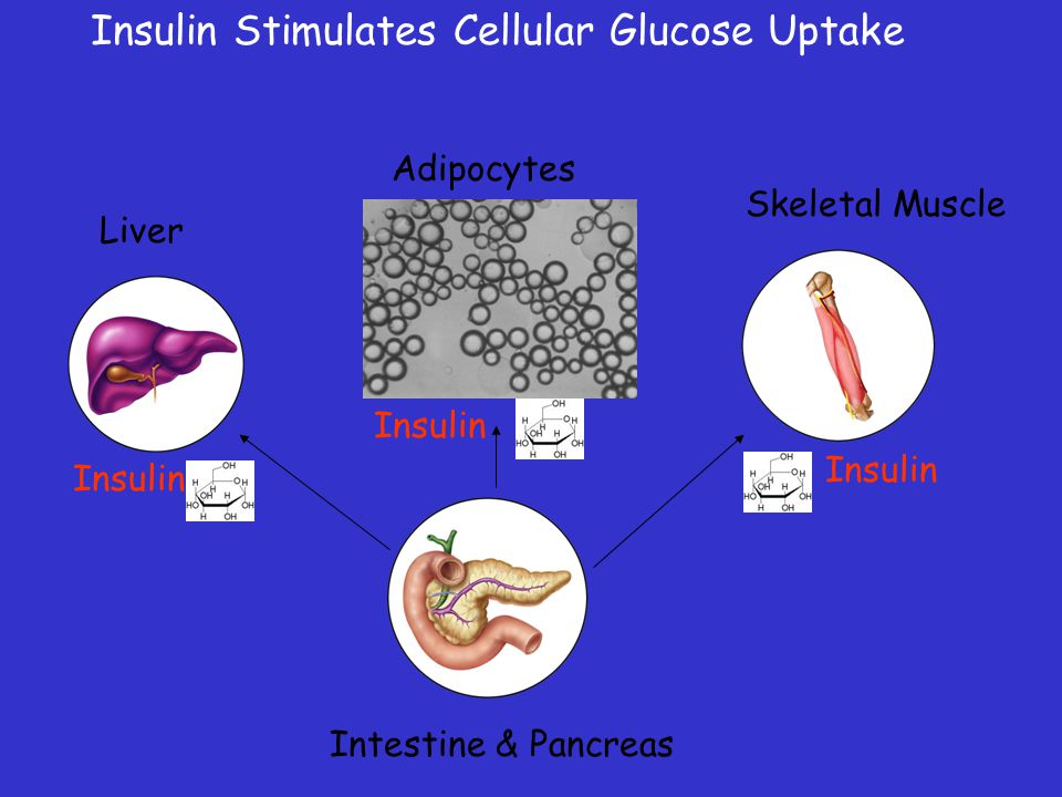 Insulin Stimulates Cellular Glucose Uptake