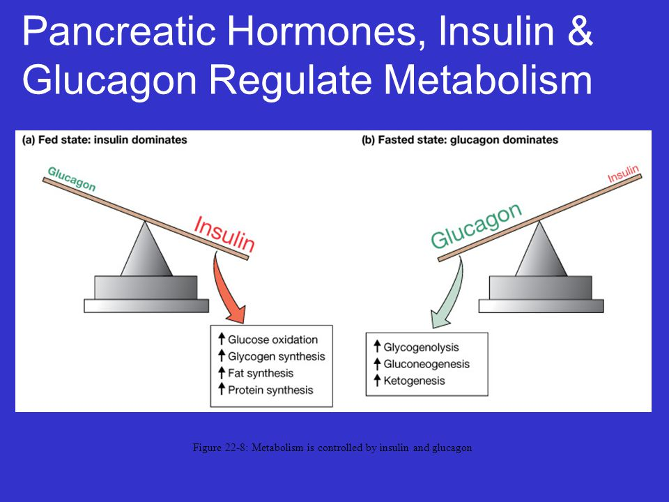 Pancreatic Hormones, Insulin & Glucagon Regulate Metabolism