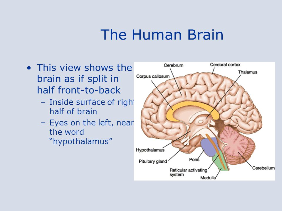 The Human Brain This view shows the brain as if split in half front-to-back. Inside surface of right half of brain.