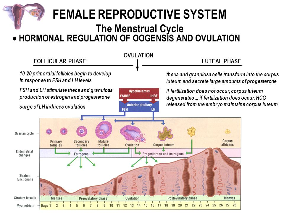 Female reproductive system ppt video online download 57 female reproductive system ccuart Images