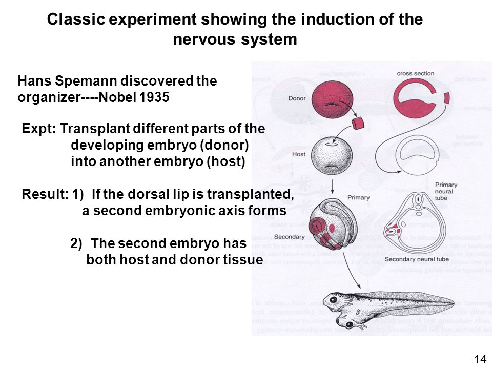 primary embryonic induction