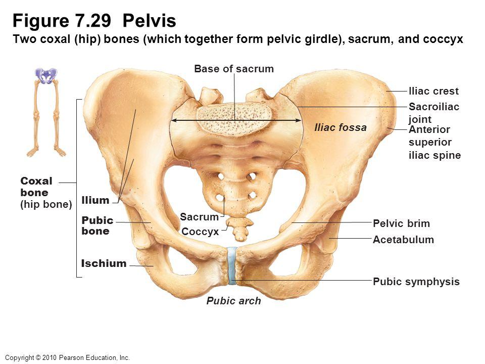 Anatomy Of Pelvic Girdle Gallery - human body anatomy
