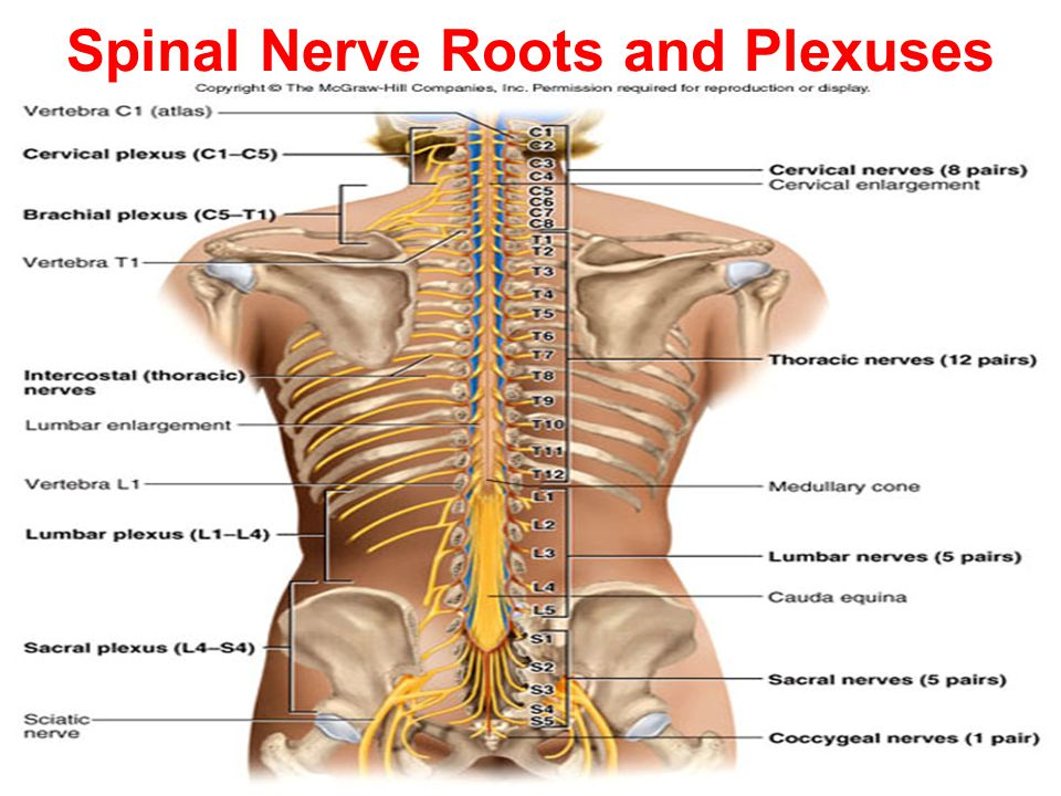 Thoracic Nerve Root Diagram - Auto Wiring Diagram Today •