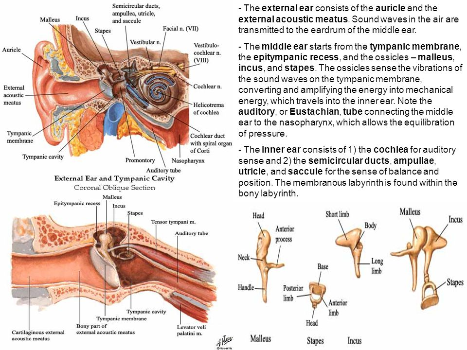 Ear Anatomy-Histology Correlate - ppt video online download