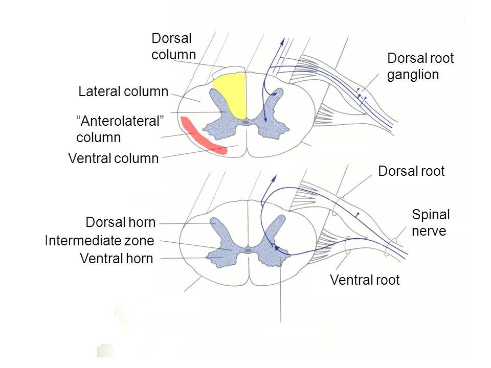 Dermatomes Overlap Skin Peripheral Nerve Dorsal Root Ventral Root