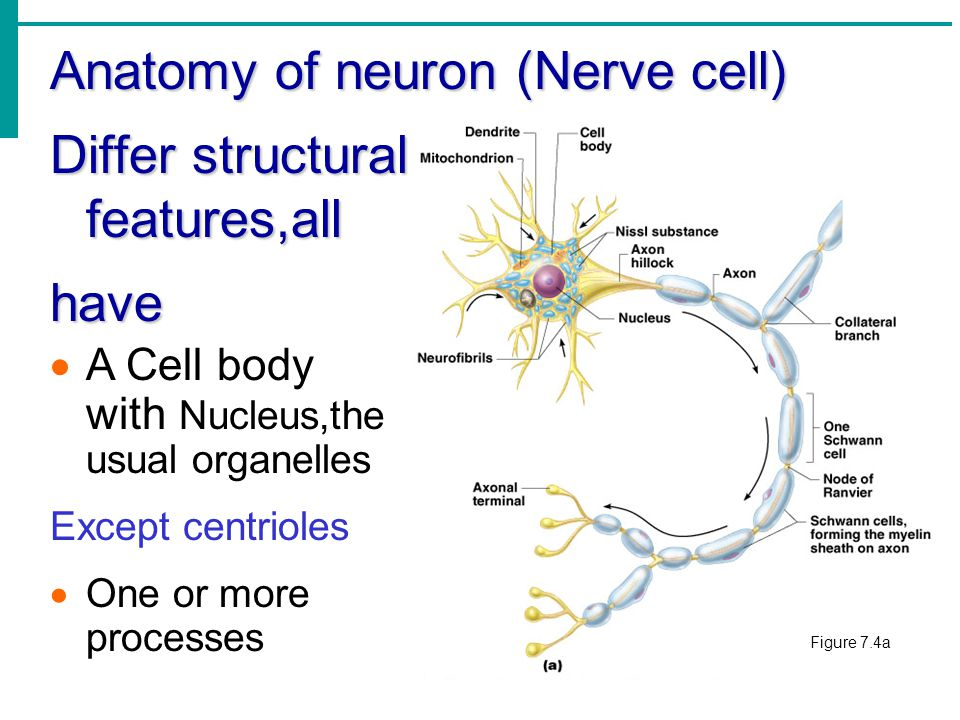 The Nervous System. - ppt download
