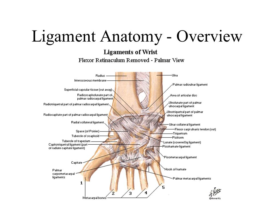 Funky Wrist Ligament Anatomy Gallery - Anatomy And Physiology ...