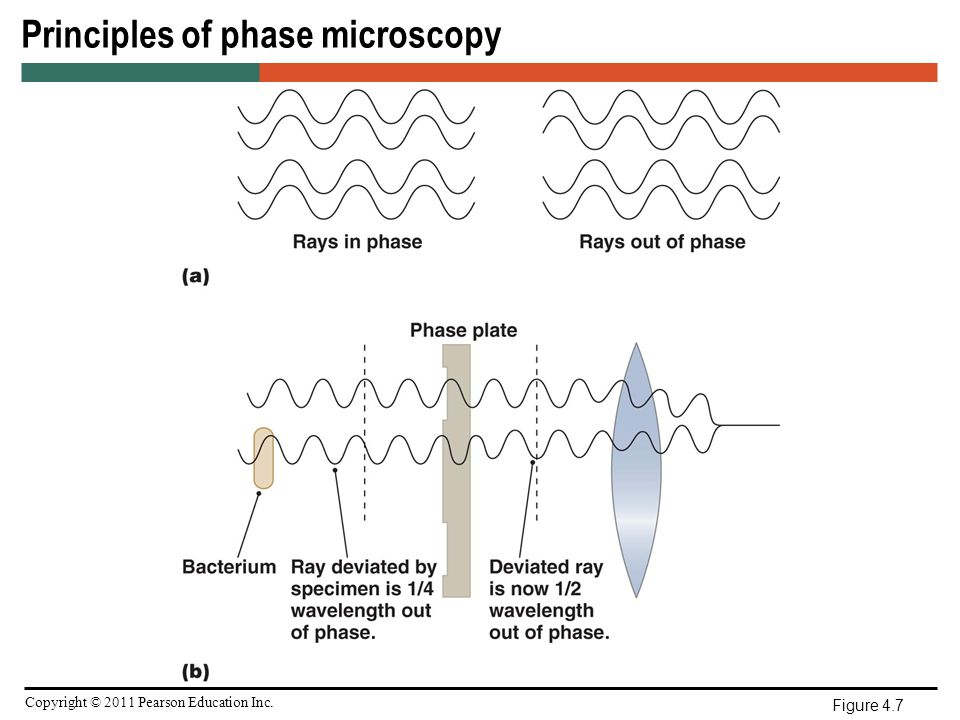 Microscopy staining and classification ppt video online download principles of phase microscopy ccuart Choice Image
