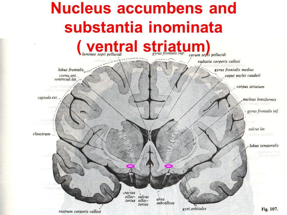 2- Basal nuclei 1- Caudate nucleus 2- Lentiform nucleus - ppt video ...