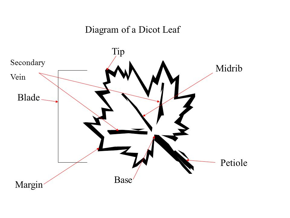 Diagram of a maple leaf electrical work wiring diagram leaves by becky mcguire ppt video online download rh slideplayer com labeled leaf diagram leaf cell ccuart Images
