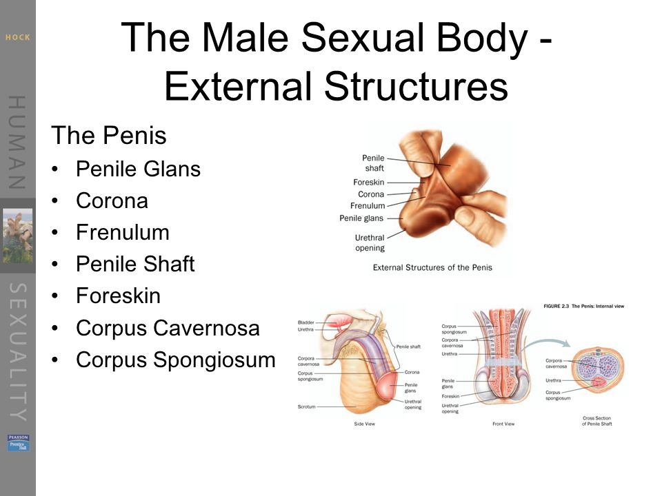 Chapter Two Sexual Anatomy Ppt Video Online Download
