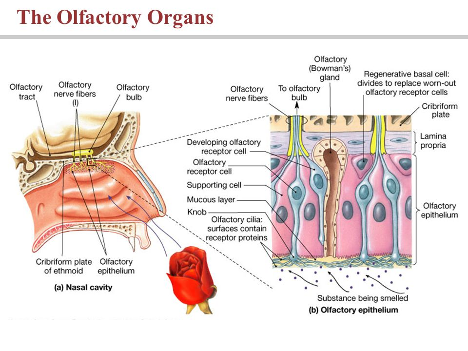 Gustation cilia diagram online schematic diagram gustation cilia diagram images gallery ccuart Gallery