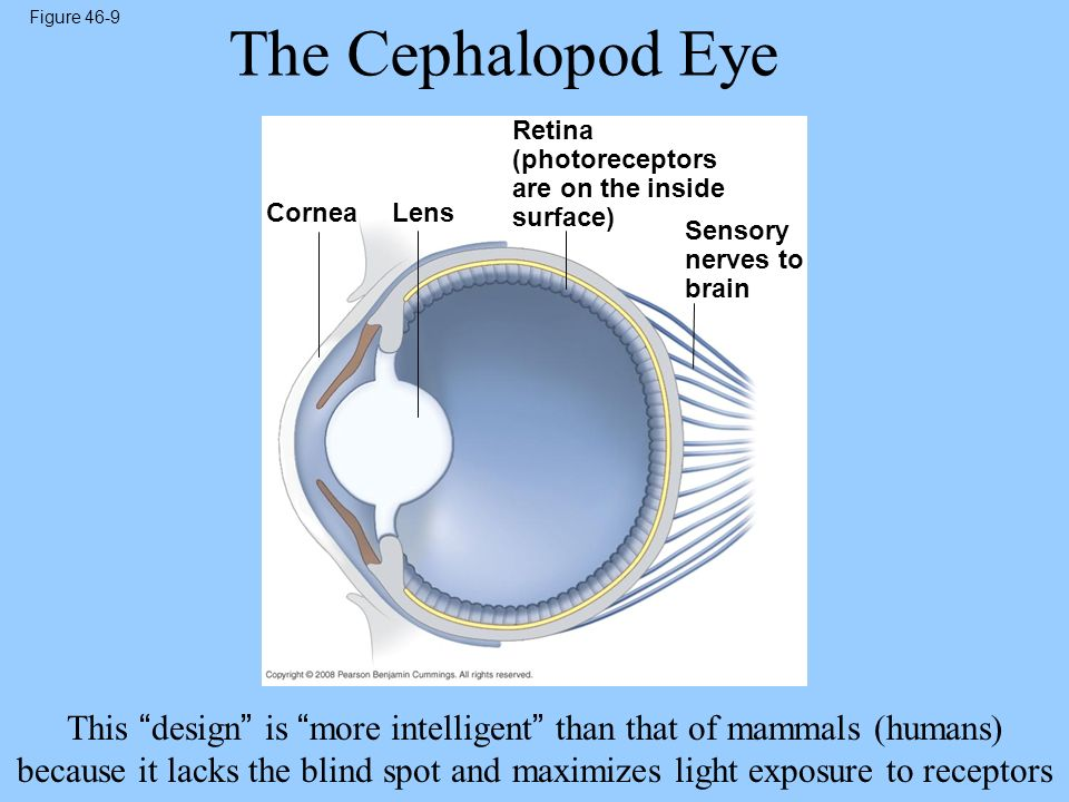 Figure 46-9 The Cephalopod Eye. Retina (photoreceptors are on the inside surface) Cornea. Lens. Sensory nerves to brain.
