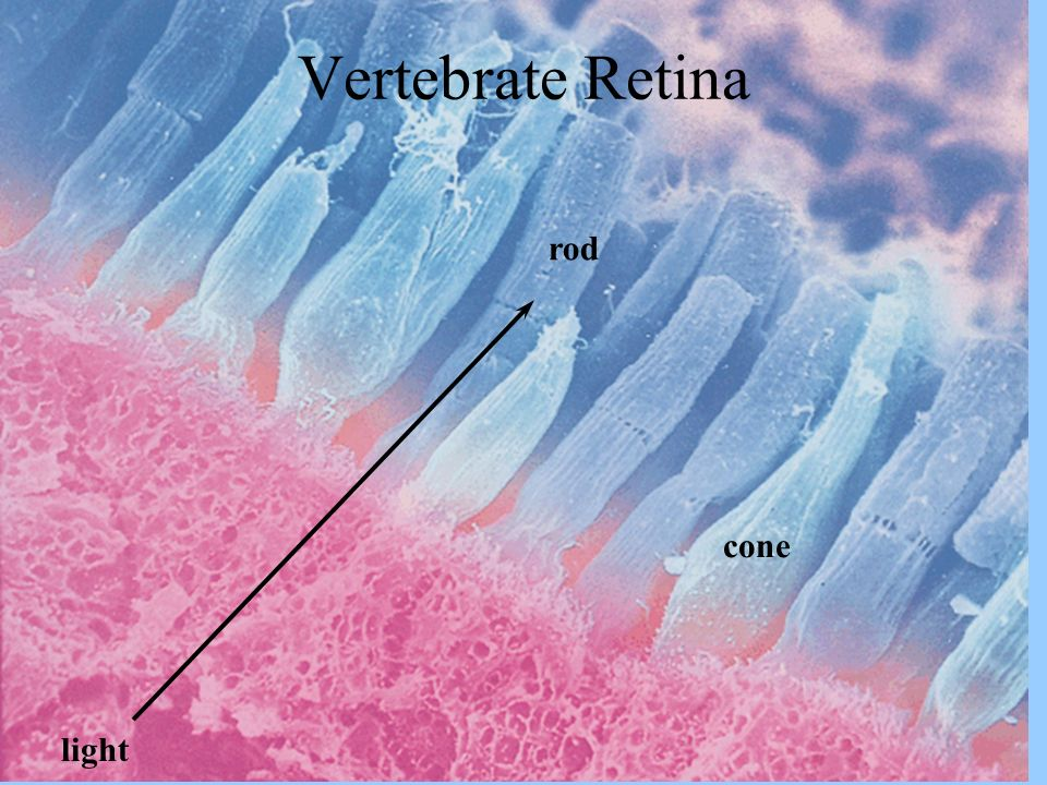 Vertebrate Retina rod cone light