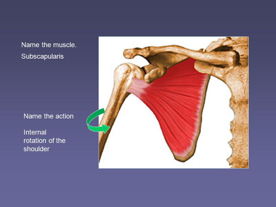 The Shoulder Complex Ppt Video Online Download