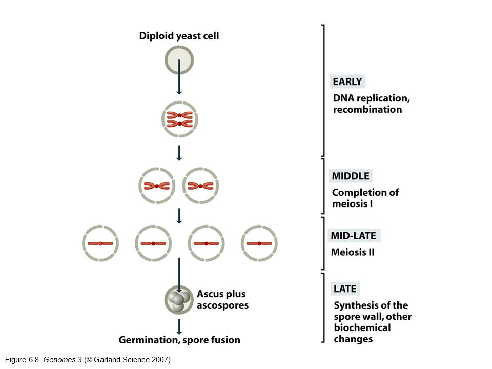 Figure 6.8 Genomes 3 (© Garland Science 2007)