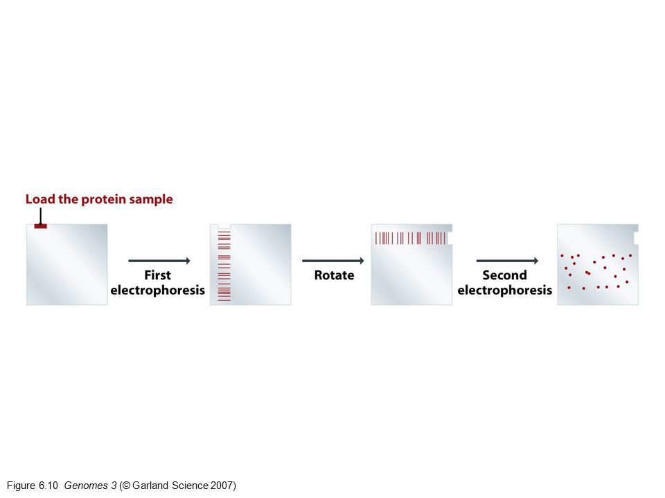 Figure 6.10 Genomes 3 (© Garland Science 2007)