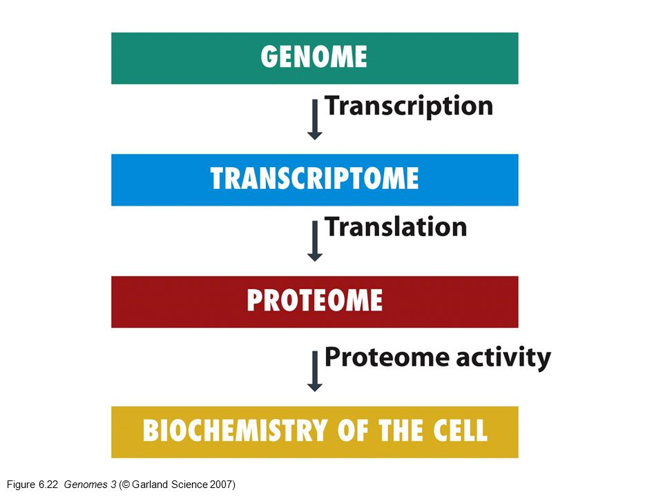 Figure 6.22 Genomes 3 (© Garland Science 2007)