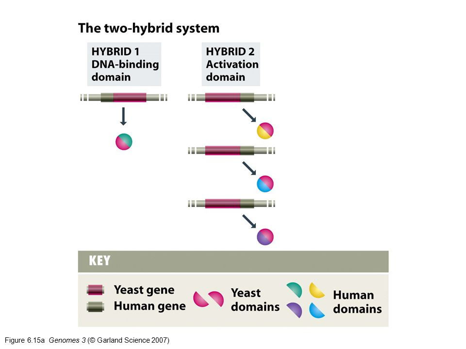 Figure 6.15a Genomes 3 (© Garland Science 2007)