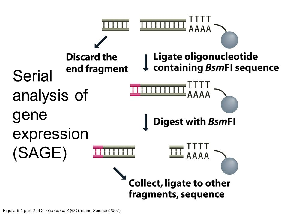 Serial analysis of gene expression