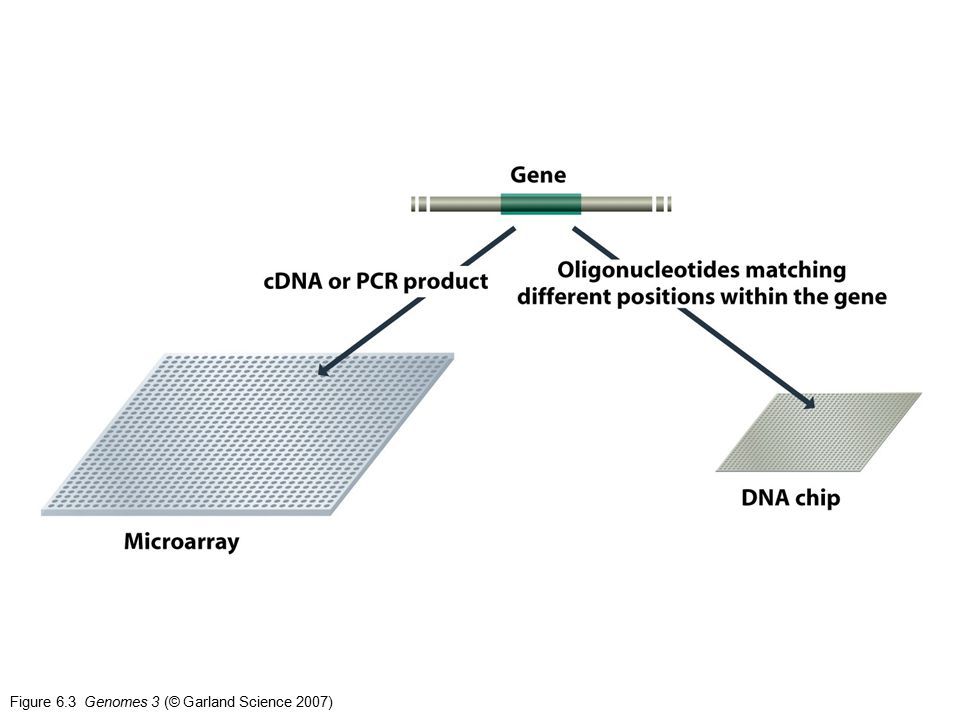 Figure 6.3 Genomes 3 (© Garland Science 2007)