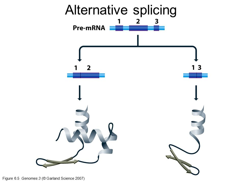 Alternative splicing Figure 6.5 Genomes 3 (© Garland Science 2007)