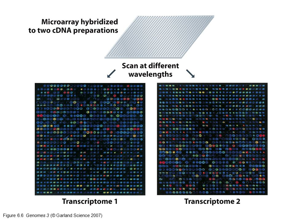 Figure 6.6 Genomes 3 (© Garland Science 2007)