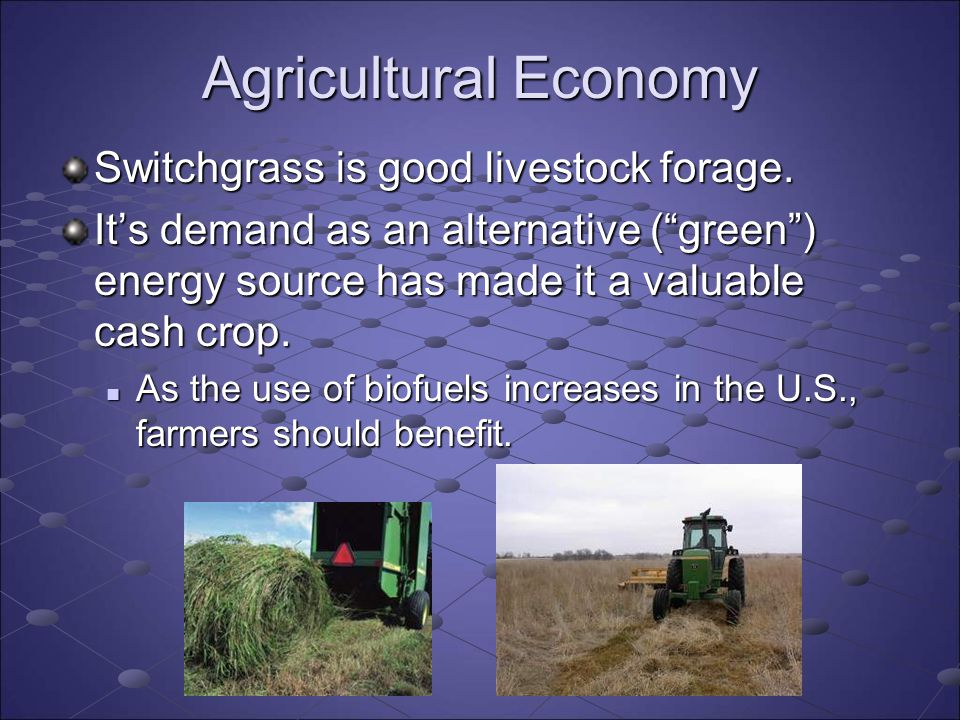 Agricultural Economy Switchgrass is good livestock forage.