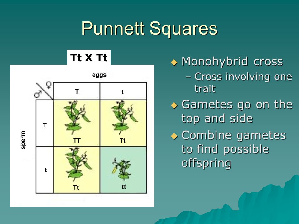 Punnett Squares Monohybrid cross Gametes go on the top and side